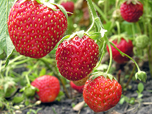 growing strawberries